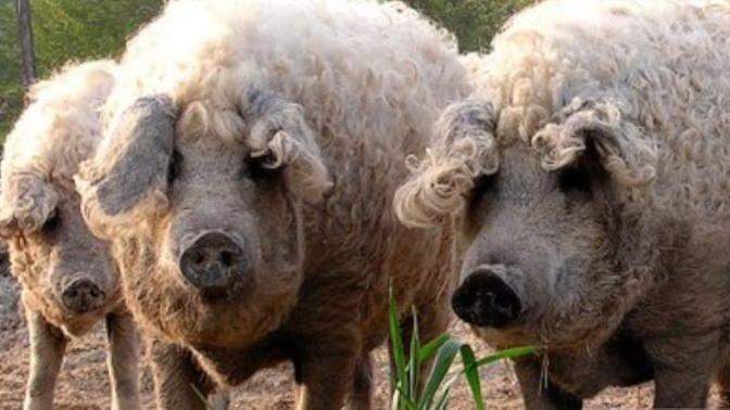 sheeppig